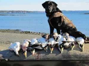 maine duck hunting