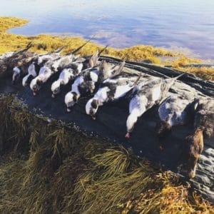 eider duck hunting